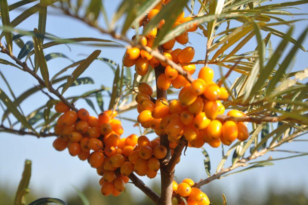 Hohe Vitamin C Quelle zur Stärkung des Immunsystems, Sanddornfruchtfleischöl, Sanddorn Detox Programm. Vitamin B12, Vitamin E, Vitamin C, Vitamin A